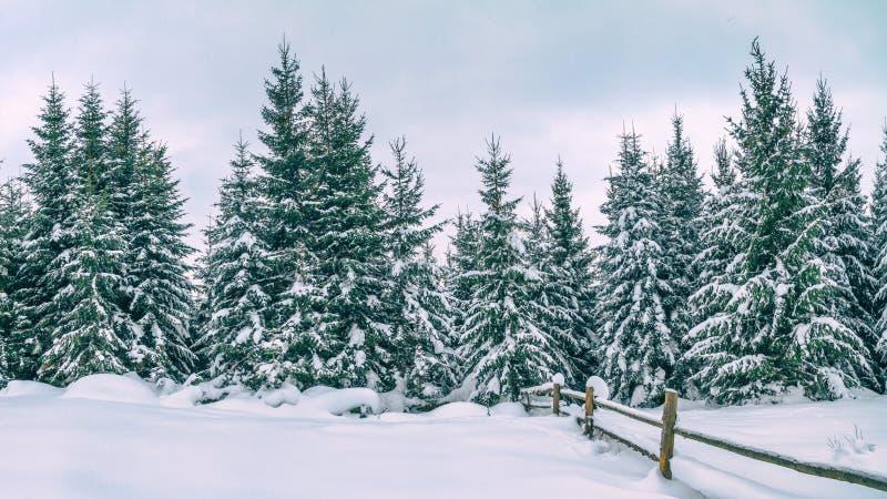 Сельский ландшафт зимы - взгляд снежного соснового леса стоковые изображения rf