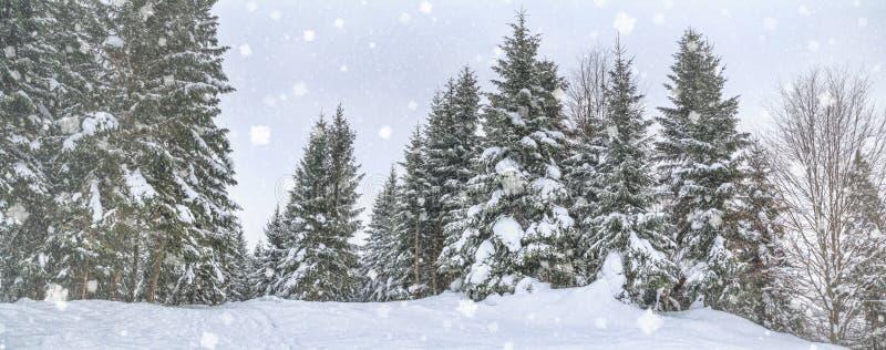 Сельский ландшафт зимы, панорама, знамя - взгляд снежного соснового леса стоковые изображения rf