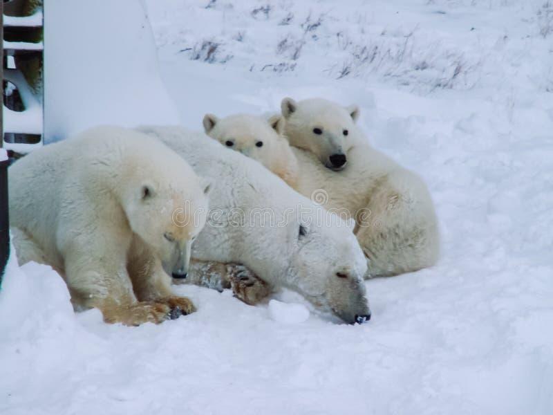 Семья полярных медведей на острове Wrangel стоковые фото