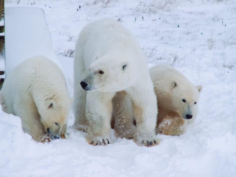 Семья полярных медведей на острове Wrangel стоковые изображения rf