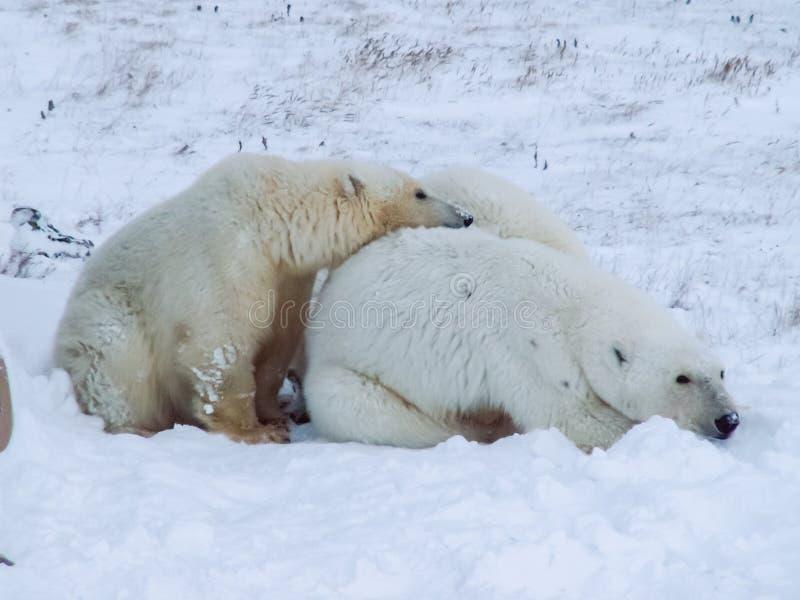 Семья полярных медведей на острове Wrangel стоковые фотографии rf