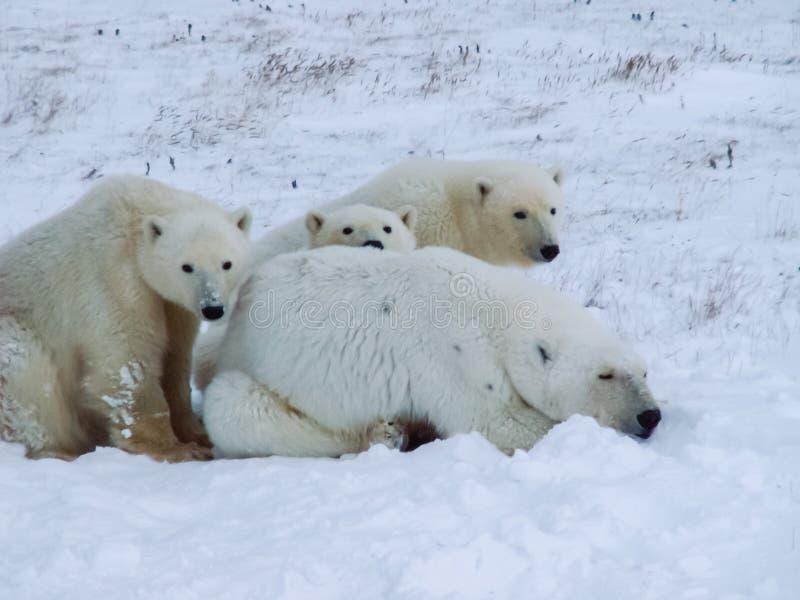 Семья полярных медведей на острове Wrangel стоковая фотография