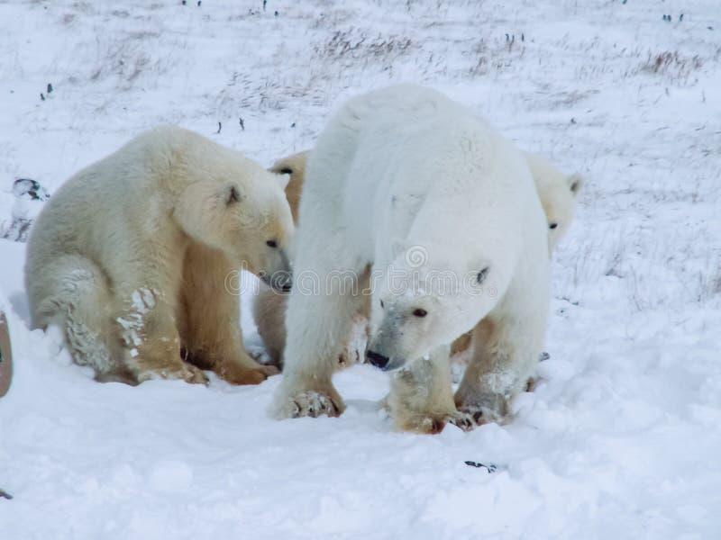 Семья полярных медведей на острове Wrangel стоковое изображение