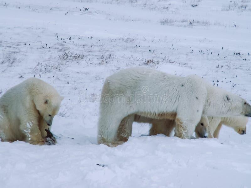 Семья полярных медведей на острове Wrangel стоковое изображение rf