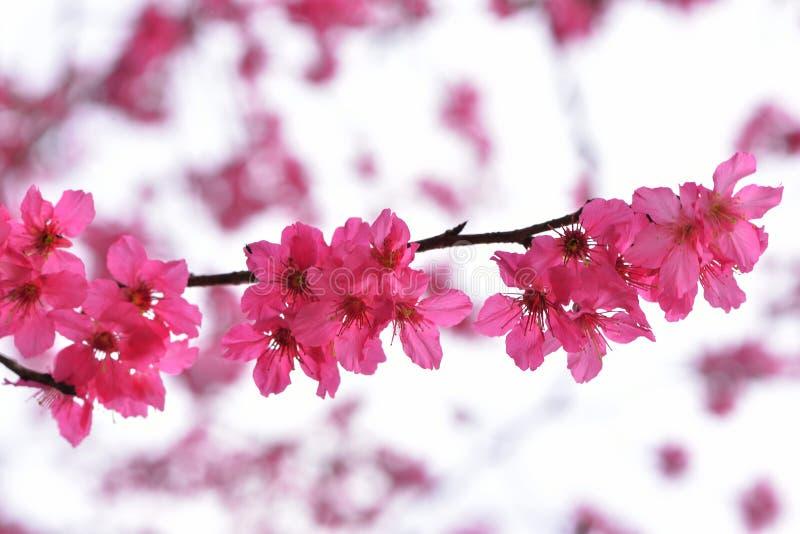 Сентенция campanulata сливы вишневого цвета горы Тайваня стоковая фотография