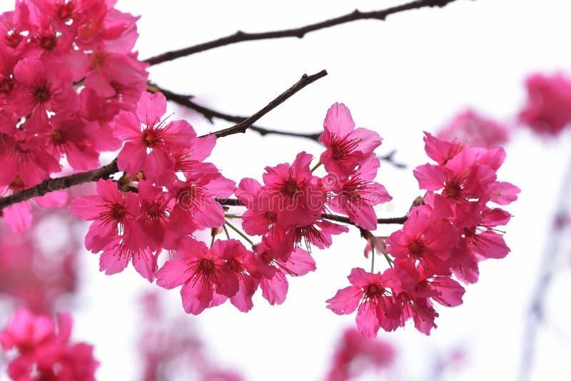 Сентенция campanulata сливы вишневого цвета горы Тайваня стоковые фотографии rf