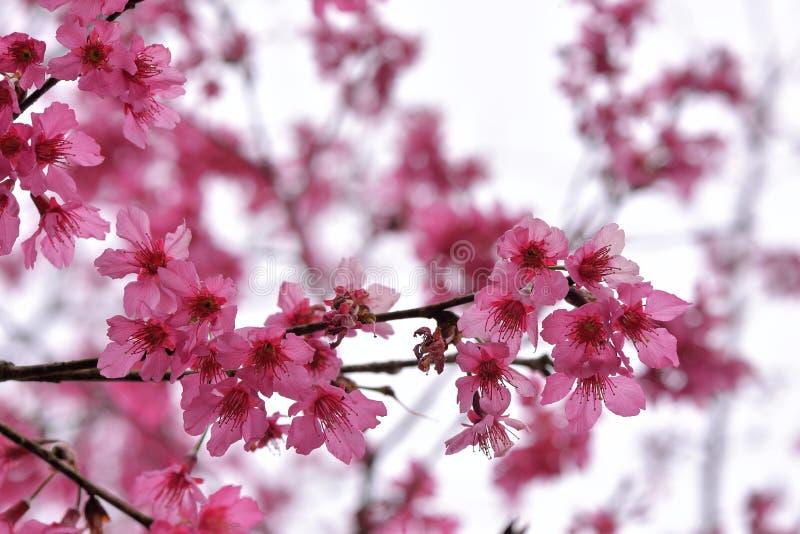 Сентенция campanulata сливы вишневого цвета горы Тайваня стоковое изображение rf