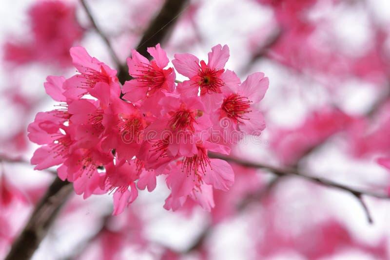 Сентенция campanulata сливы вишневого цвета горы Тайваня стоковая фотография rf