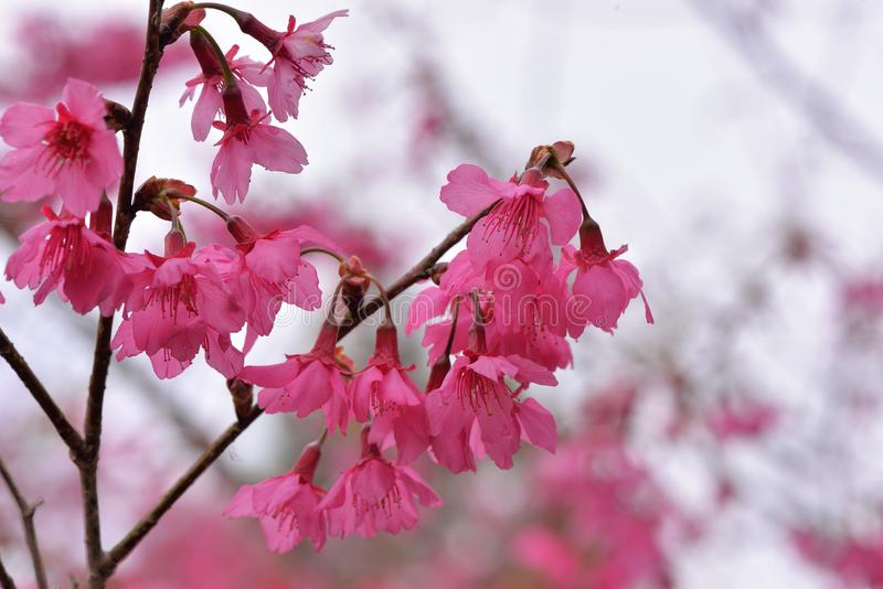 Сентенция campanulata сливы вишневого цвета горы Тайваня стоковые фото