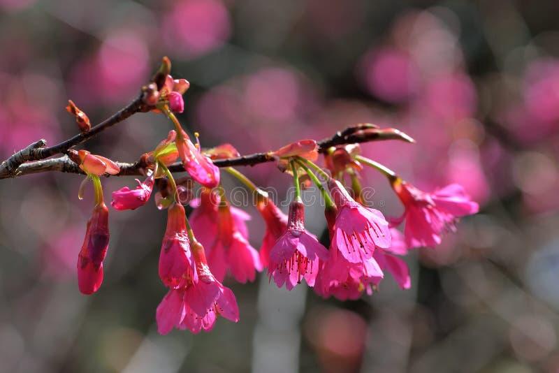 Сентенция campanulata сливы вишневого цвета горы Тайваня стоковые изображения rf
