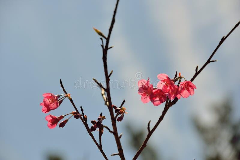 Сентенция campanulata сливы вишневого цвета горы Тайваня стоковые изображения