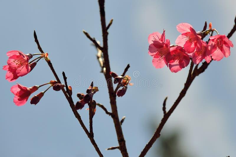 Сентенция campanulata сливы вишневого цвета горы Тайваня стоковое фото