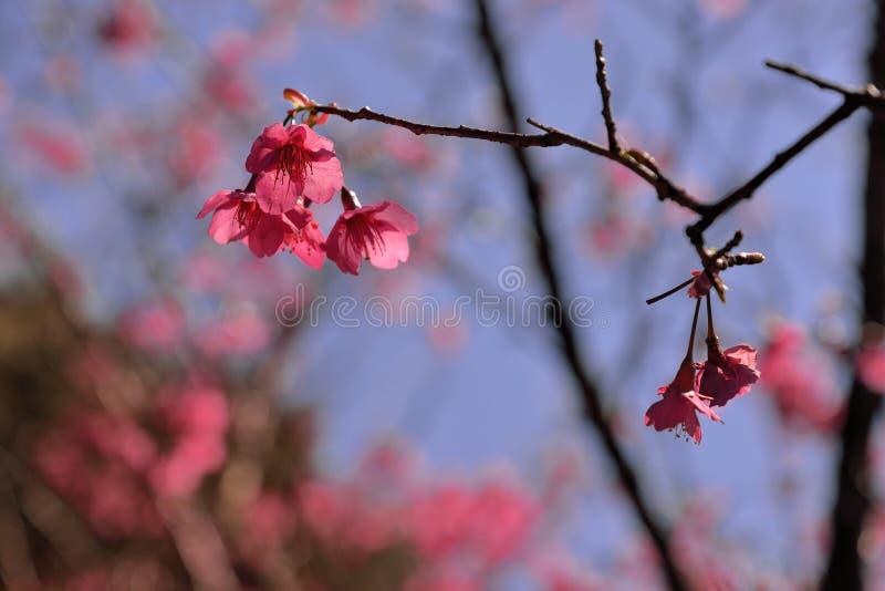 Сентенция campanulata сливы вишневого цвета горы Тайваня стоковое изображение