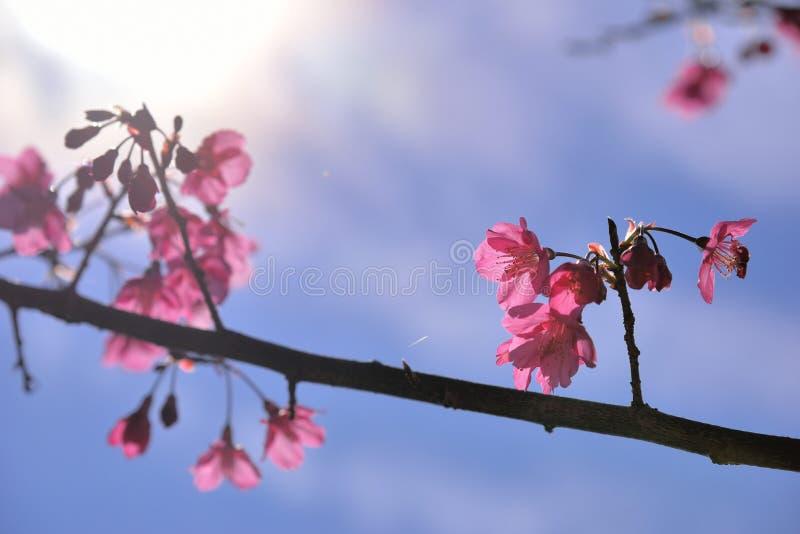 Сентенция campanulata сливы вишневого цвета горы Тайваня стоковое фото rf