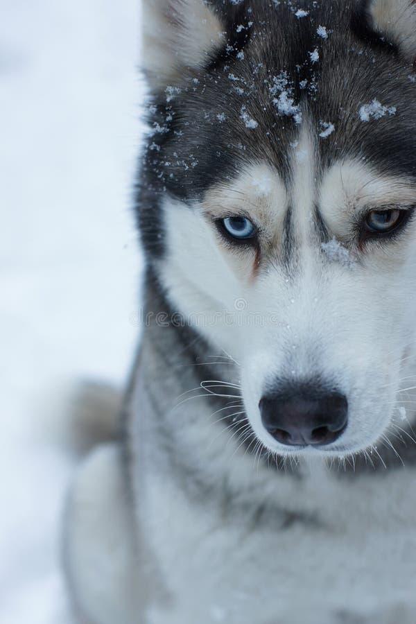 Серая собака сиплой породы сидит на снеге в зиме, глазах других цветов не смотрит в рамку, там стоковое фото rf