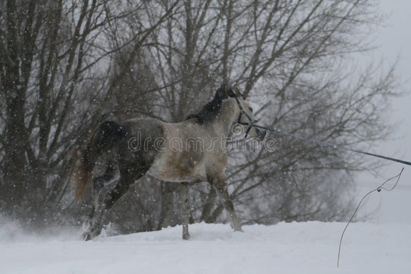 Серые игры жеребца на шнуре в снежностях в зиме Лошадь скачет галопом вверх по холму в глубоком снеге стоковые изображения rf