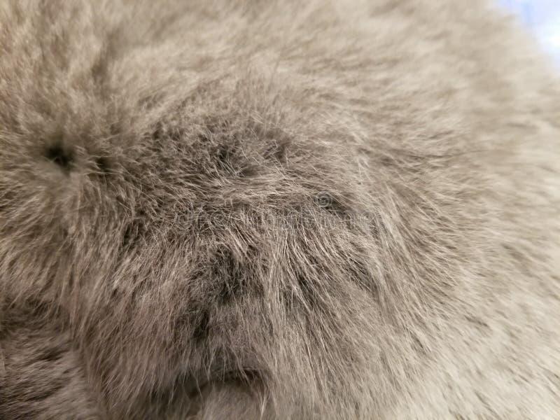 Серые шерсти великобританского кота конец фотографии меха кота вверх по предпосылке стоковое изображение rf