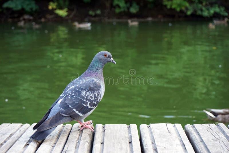 Серый голубь стоит на деревянной платформе и рассматривает вне вода стоковые изображения rf
