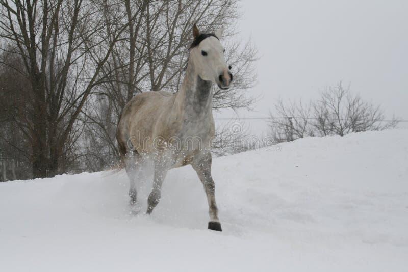 Серый жеребец идя рысью через снег в пасмурной погоде зимы стоковое фото rf