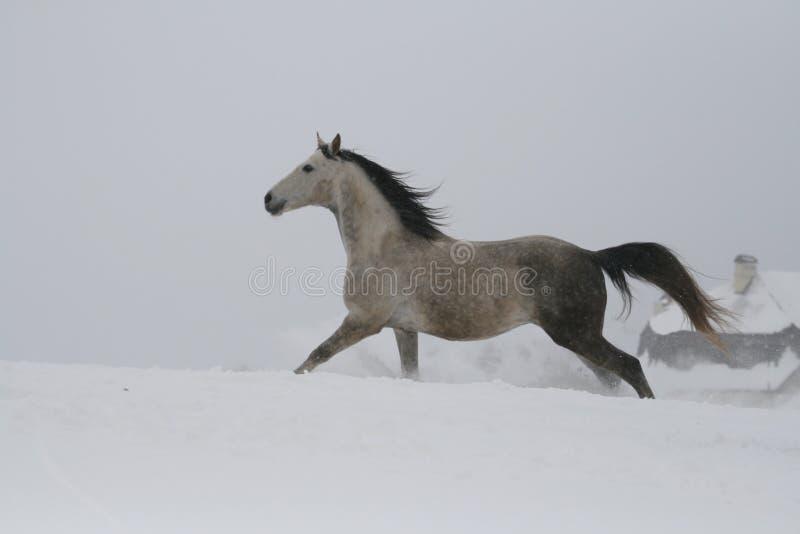 Серый жеребец скача галопом на наклоне в снег Лошадь скачет галопом в глубоком снеге стоковое изображение rf