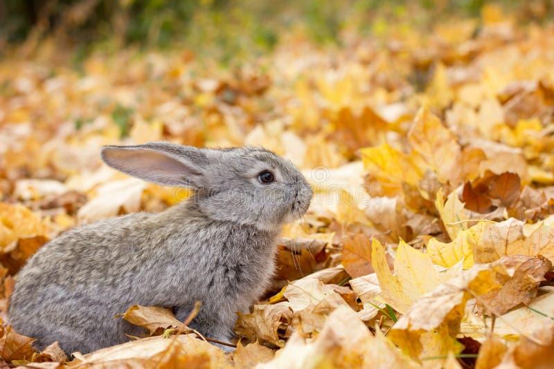 Серый кролик в желтом цвете стоковое фото rf