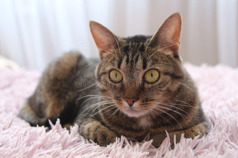 Серый кот лежит на розовой шотландке стоковые фото