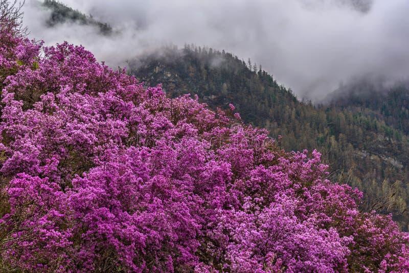 Сибиряк Сакуры весны горы рододендрона стоковые изображения rf