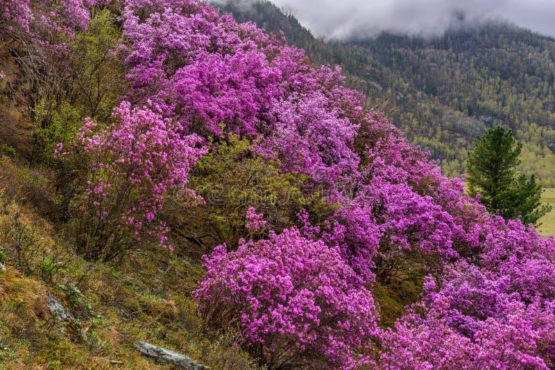 Сибиряк Сакуры весны горы рододендрона стоковое изображение
