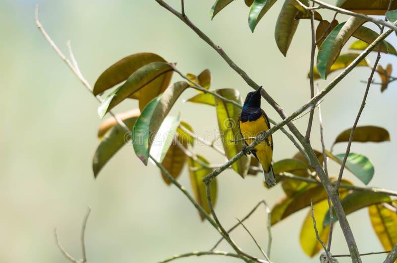 Сигнал снял колибри пока отдыхающ на стержне дерева ища еда цветка стоковые изображения