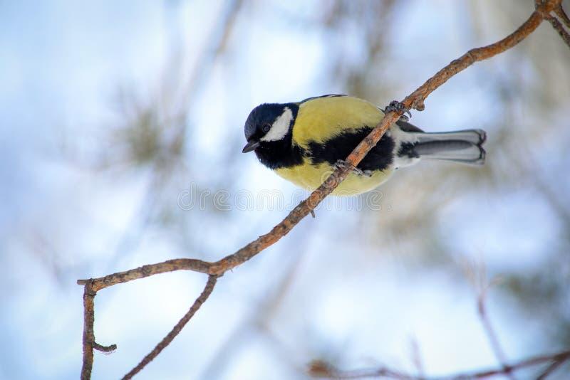 Синица птицы на ветви дерева стоковые изображения rf