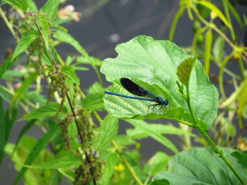 Синяя стрекоза. Blue dragonfly royalty free stock images