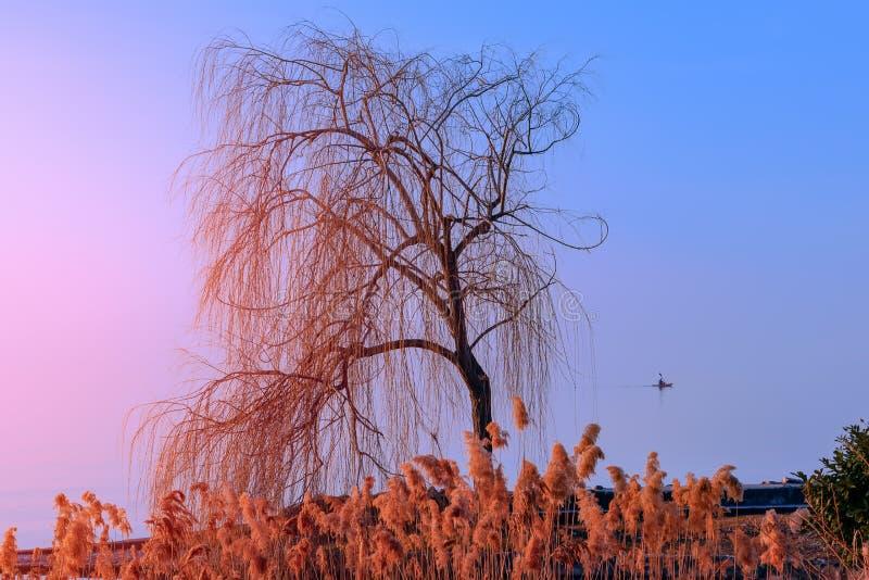 Сиротливое дерево загоренное заходом солнца на озере Garda Направо дерева человек в каноэ Сезон зимы в Италии стоковая фотография