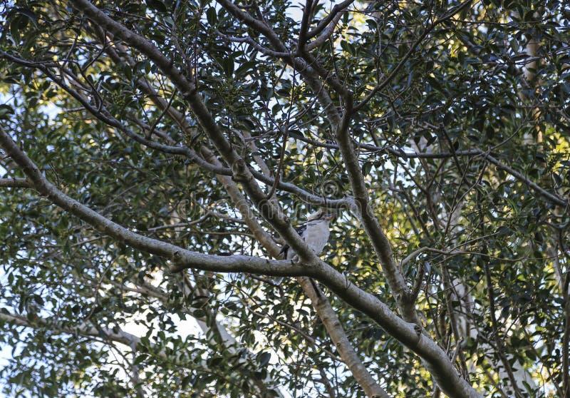 Скрывание Kookaburras amongest листья стоковые изображения rf