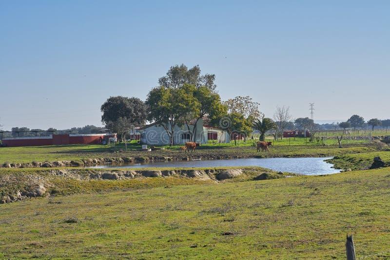 Скотный двор с коровами и озером стоковые фотографии rf