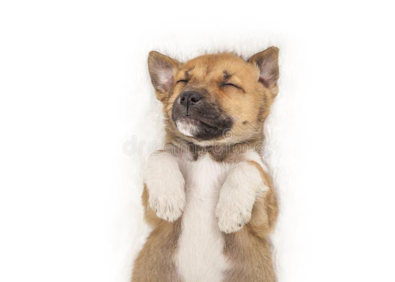 Сладкий маленький спать на его заднем щенке на белой предпосылке стоковые изображения