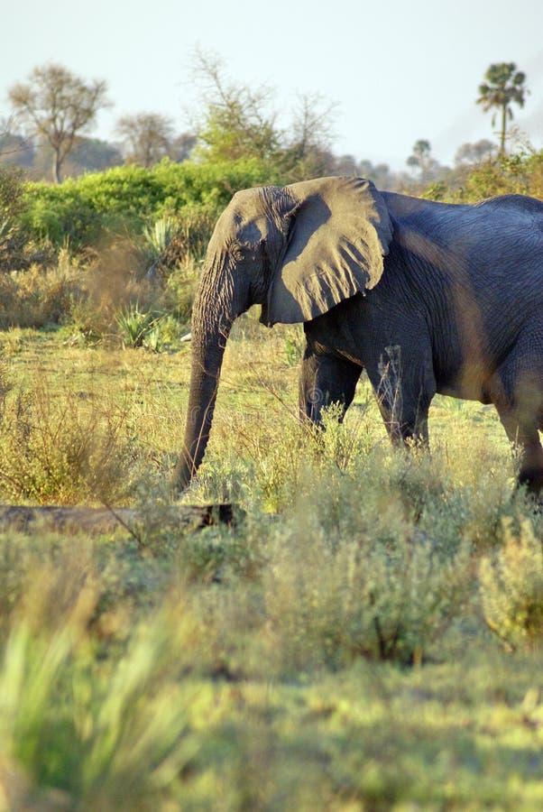 Слон в перепаде Okavango стоковое фото