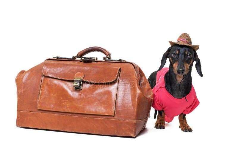 Смешные порода таксы собаки, черные и загорают, одеванный как турист с винтажной сумкой и шляпой, изолированной на белой предпосы стоковое фото