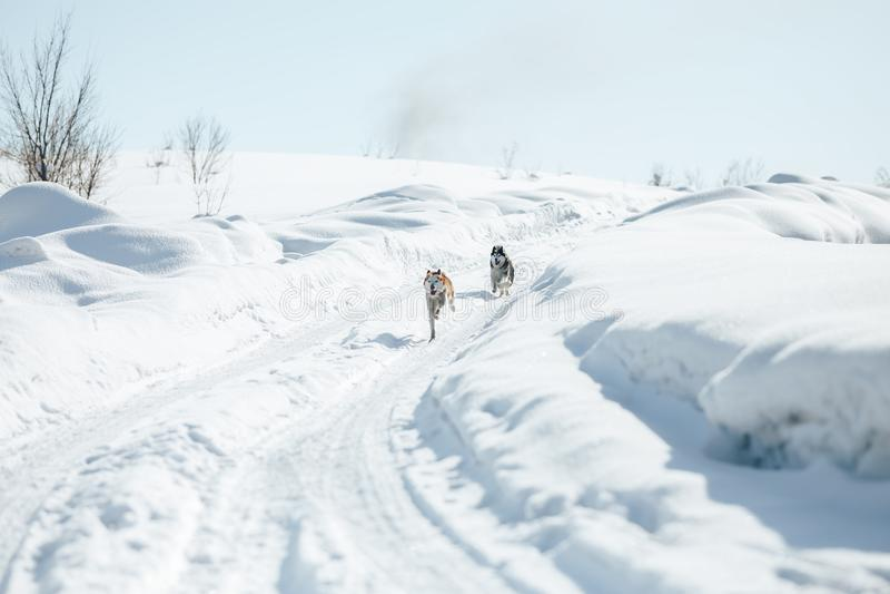2 смешных счастливых сибирских сиплых собаки бежать совместно на открытом воздухе в парке Snowy на солнечном зимнем дне усмехатьс стоковые изображения