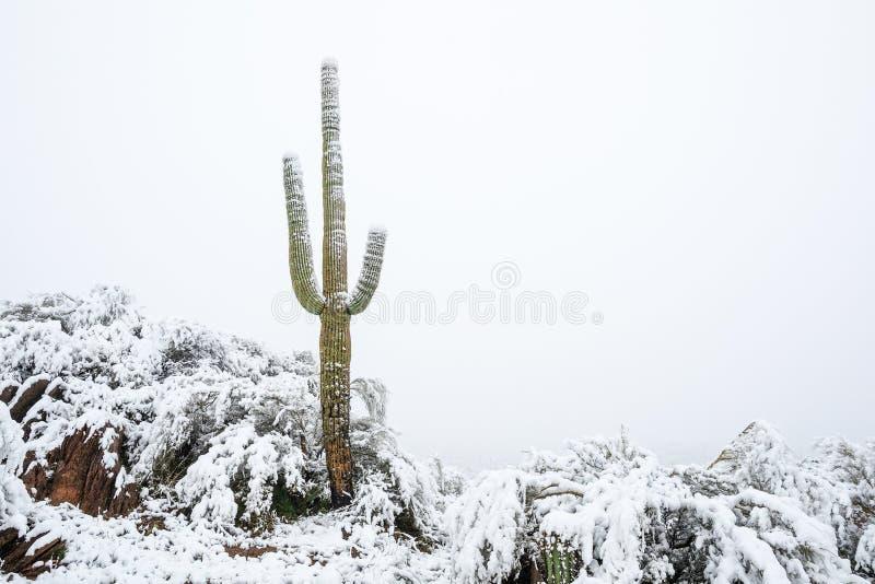 Снег на кактусе Saguaro после шторма зимы в пустыне Аризоны стоковое изображение rf