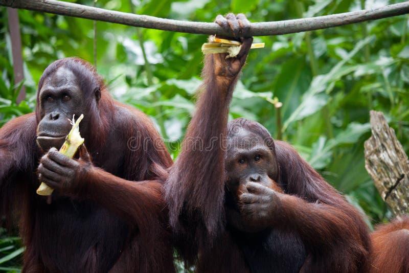Спарите взгляд портрета орангутана Листья орангутана 2 сидя и eatting в зоопарке Сингапура стоковое фото
