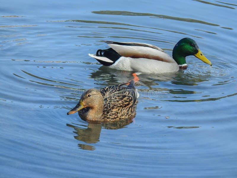Спарите уток плавая в озере стоковое изображение