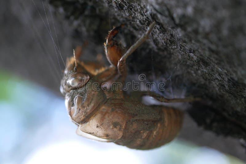 Супер макрос конца-вверх снятый пустой раковины цикады стоковые изображения