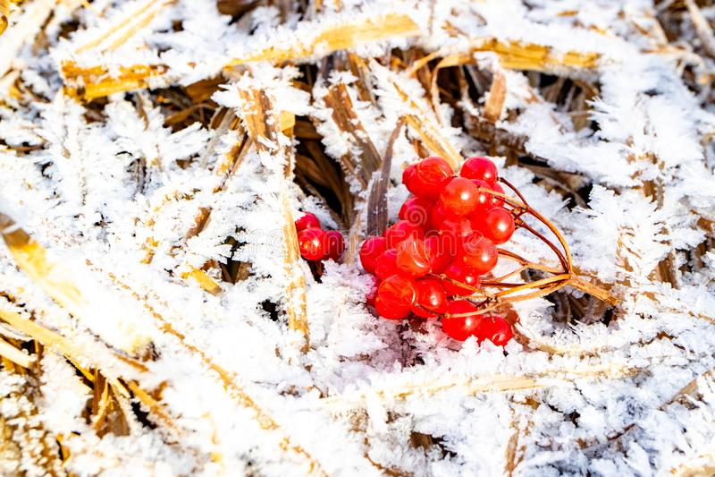 Сухая трава на который заморозок на верхней части sprig красной калины стоковое изображение rf