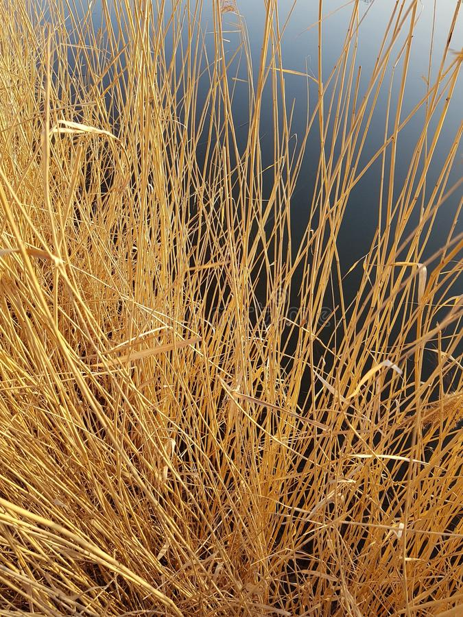 сухой тростник стоковое изображение rf