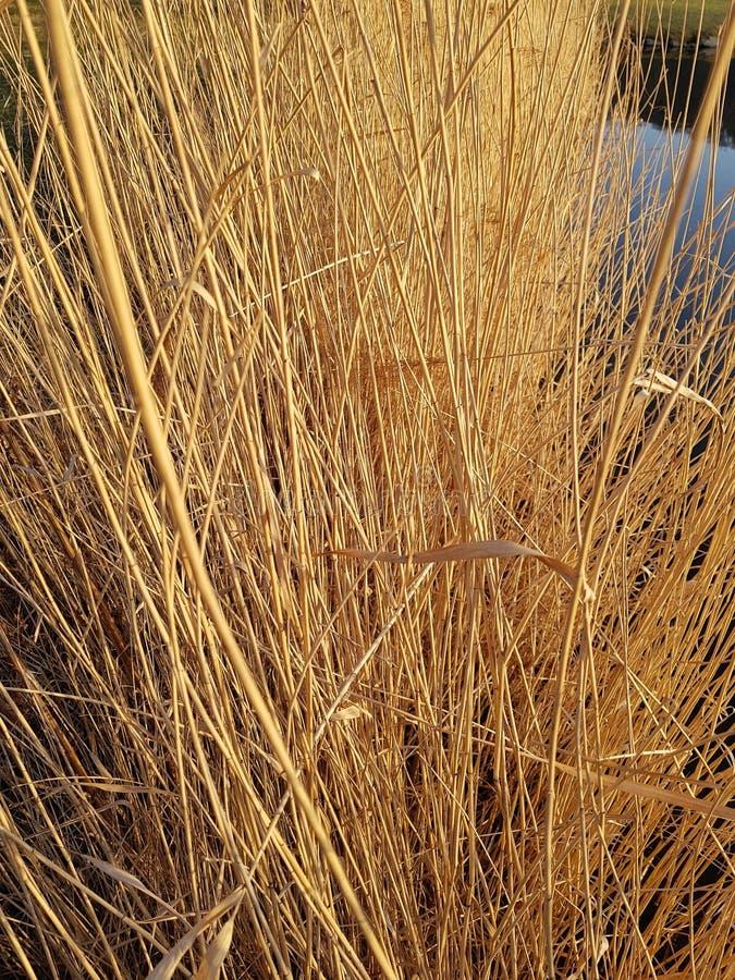сухой тростник стоковые изображения rf