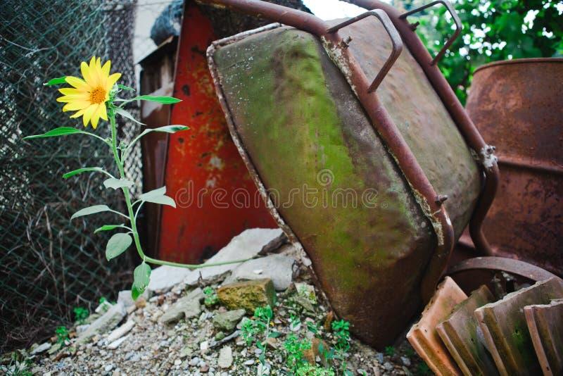 Старый и ржавый против новой жизни - солнцецвета стоковые фотографии rf