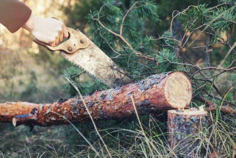 Ствол дерева вырезывания Lumberjack с ручной пилой в лесе стоковое изображение