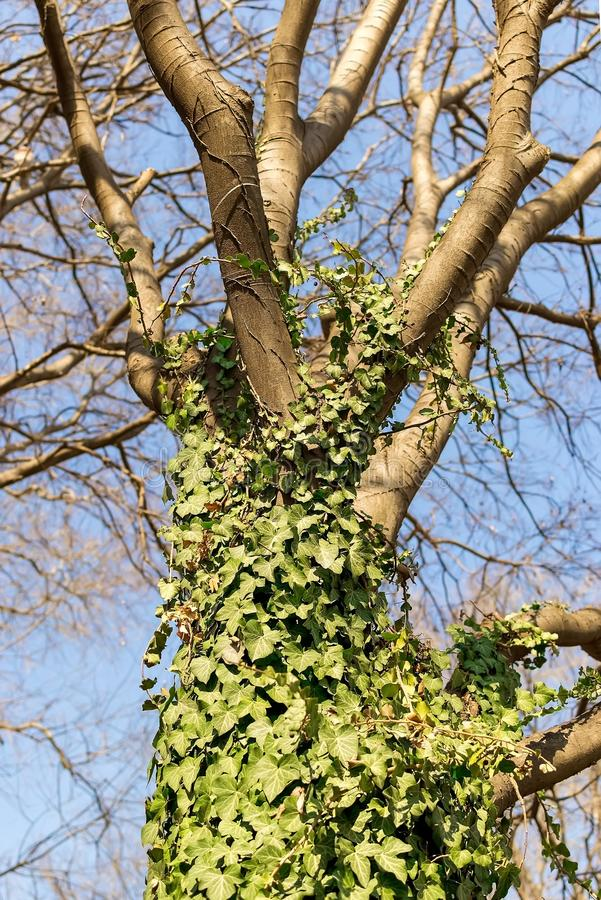 Ствол дерева entwined с курчавым зеленым плющом против голубого неба весны Общий плющ вечнозеленый завод взбираться и меда стоковое фото rf