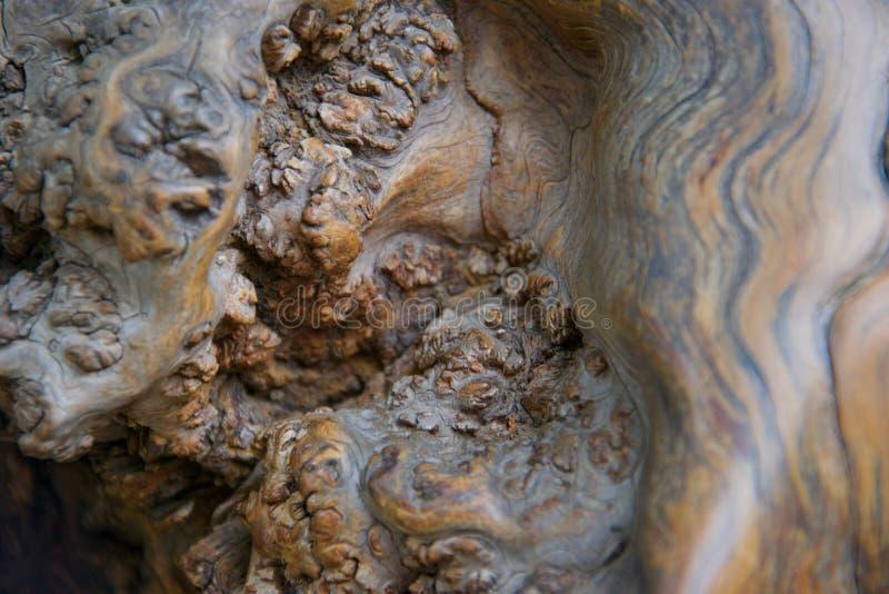 Странные сучковатые формы в отполированной, сияющей древесине, растя на старом дереве стоковое изображение