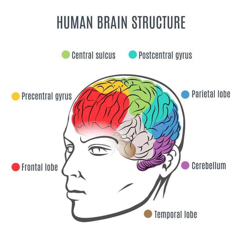 Структура человеческого мозга иллюстрация вектора
